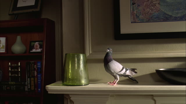 WS Columba livia perched on on mantle while flowers are dropped into vase