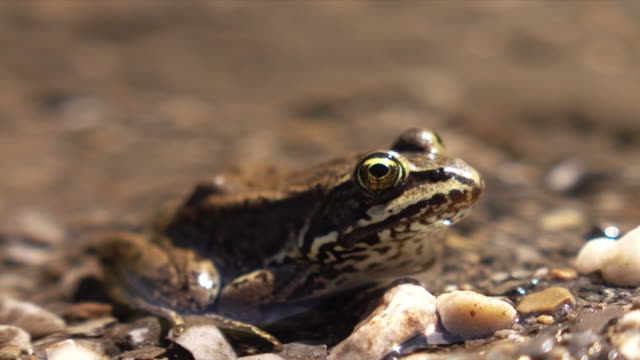 columbia spotted frog - camminare nell'acqua video stock e b–roll