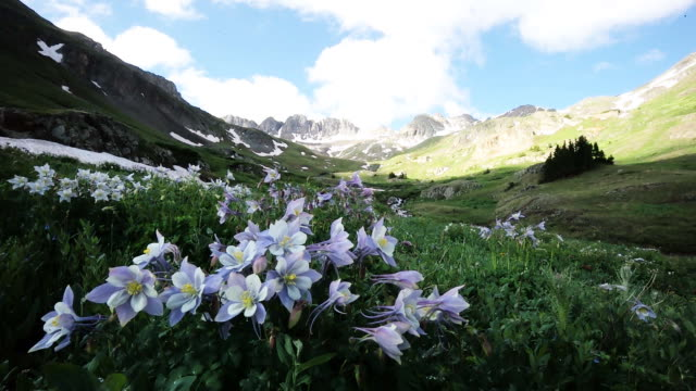 Columbine flowers in American basin