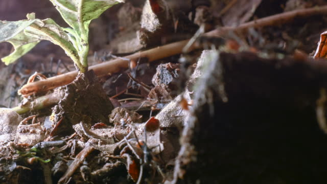 column of army ants (eciton rapax) on the rainforest floor in the ecuadorian amazon - ant stock videos & royalty-free footage