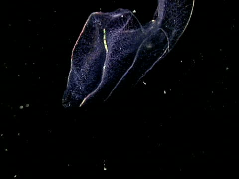 Comb jelly floating through frame, black background