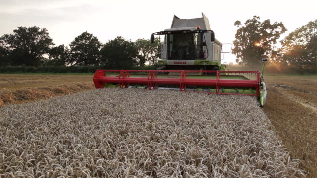 combine harvester cutting wheat in field moving towards camera - combine harvester stock videos & royalty-free footage