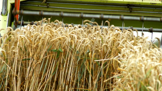 combine harvester harvesting wheat field (4k/uhd to hd) - combine harvester stock videos & royalty-free footage