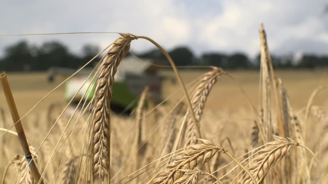 combine harvester harvests crop in field, uk - cereal plant stock videos & royalty-free footage