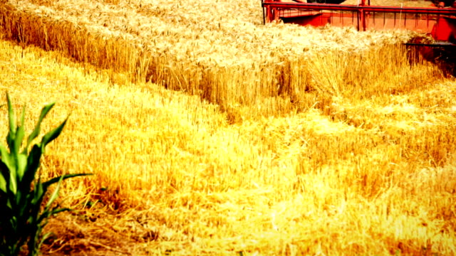Mietitrebbia nel campo di grano.