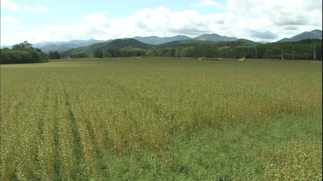 combine harvesters harvest buckwheat in a vast field in hokkaido, japan. - buckwheat stock videos & royalty-free footage
