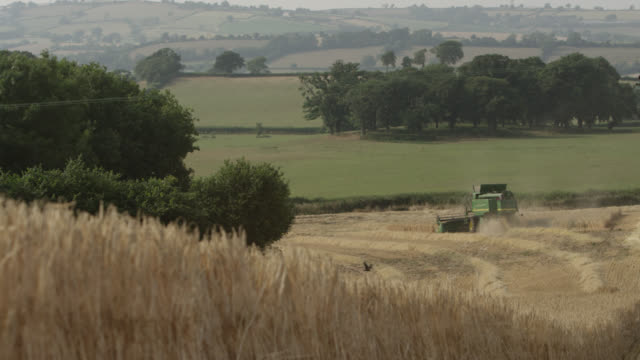combine harvests wheat (triticum aestivum) crop in field, somerset, england - bbc stock videos and b-roll footage