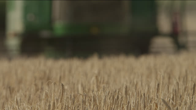 Combine harvests wheat (Triticum aestivum) crop in field, Somerset, England