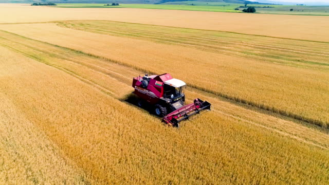 combine in the field cleans wheat. - harvesting stock videos and b-roll footage