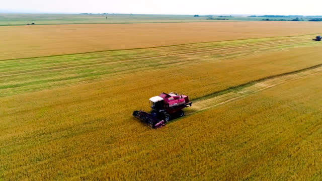combine in the field cleans wheat. - macchina agricola video stock e b–roll