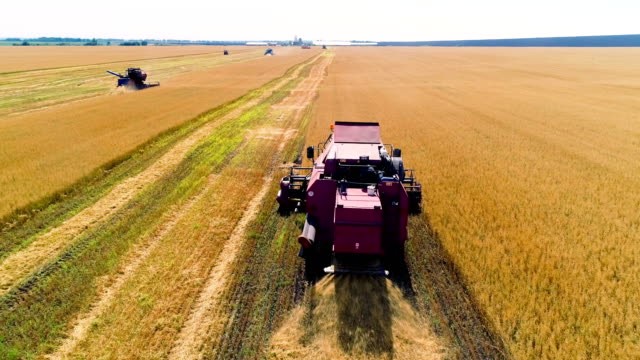 combine in the field cleans wheat. - trattore video stock e b–roll