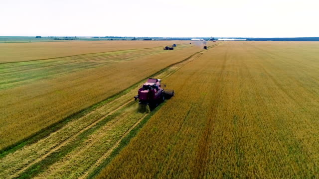 Combine in the field cleans wheat.