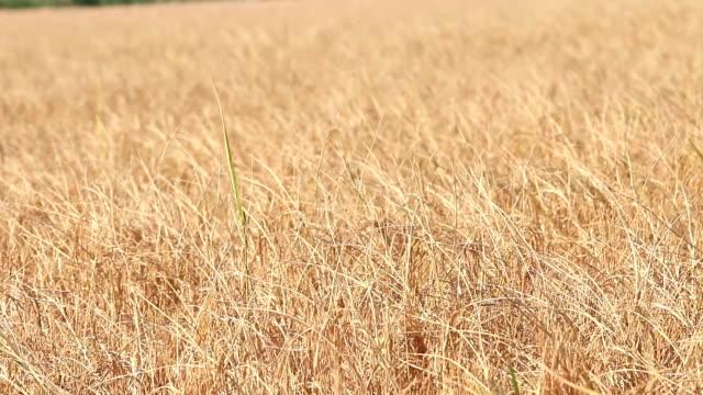 vídeos de stock e filmes b-roll de combinar tractor colheitas - objeto pontudo