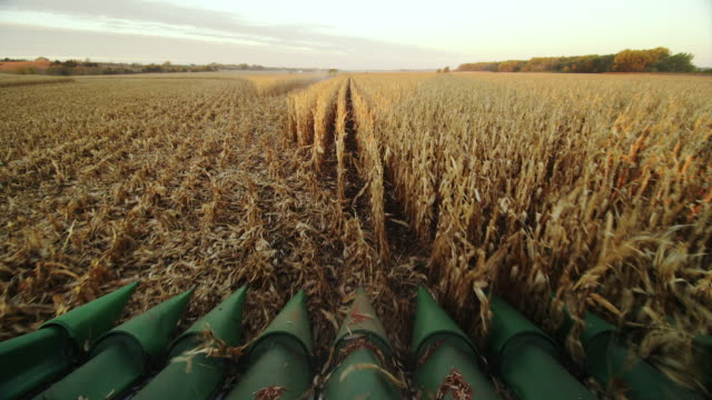 POV combine turns around and starts down eight rows in a cornfield, harvesting corn.