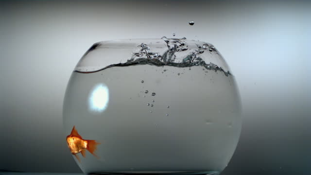 SLO MO CU Comet-tailed goldfish falling into fishbowl, swimming around at high speed, and then jumping out of bowl / Mamaroneck, New York, USA