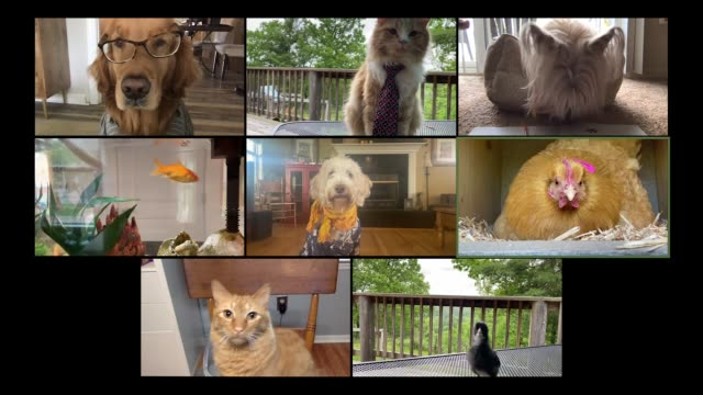 comical pets virtually hang out on video call - animal themes stock videos & royalty-free footage