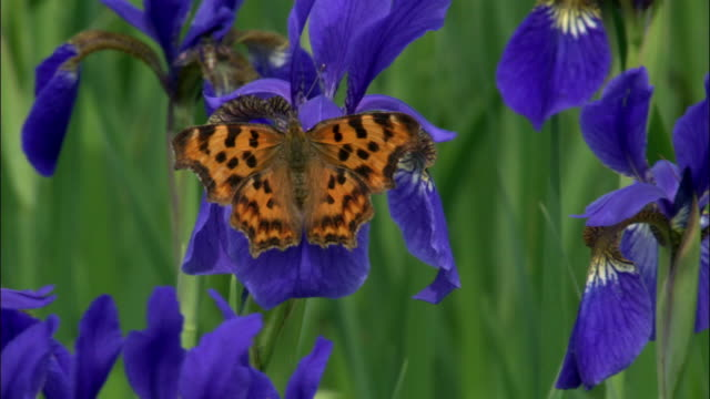 comma butterfly feeds on iris setosa, changbaishan national nature reserve, jilin province, china - orange colour stock videos & royalty-free footage
