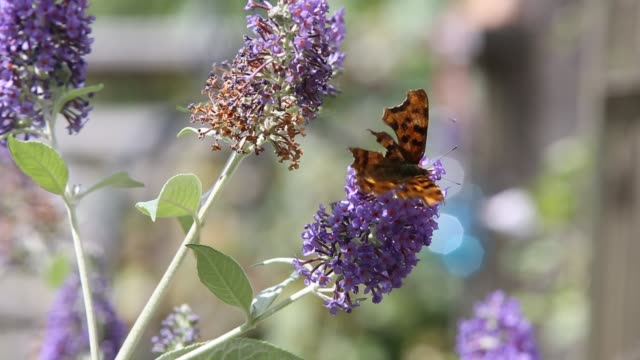 a comma butterfly, polygonia c-album feeding on buddleia, in an ambleside garden, uk. - animal antenna stock videos & royalty-free footage
