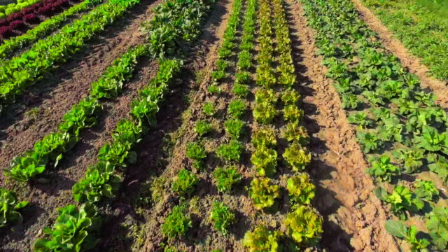 commercial vegetable garden flyover - spinach salad stock videos & royalty-free footage