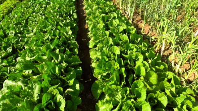 commercial vegetable garden flyover - lettuce stock videos and b-roll footage