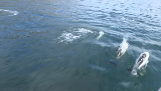 commerson's dolphins follow boat, falkland islands - medium group of animals stock videos & royalty-free footage