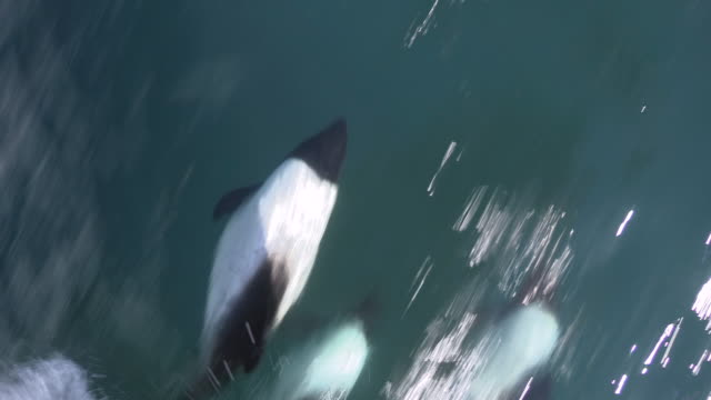 commerson's dolphins riding bow wave, falkland islands - bow riding stock videos & royalty-free footage