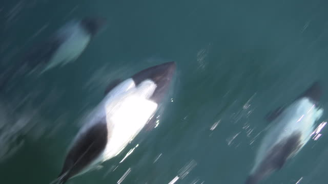 commerson's dolphins riding bow wave, falkland islands - vier tiere stock-videos und b-roll-filmmaterial