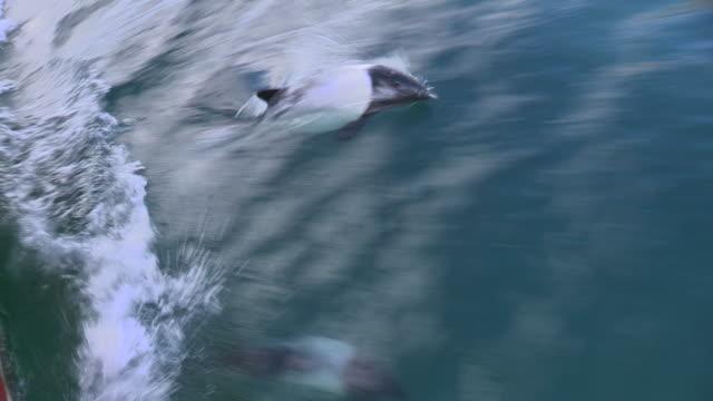 vídeos y material grabado en eventos de stock de commerson's dolphins riding bow wave, falkland islands - grupo pequeño de animales