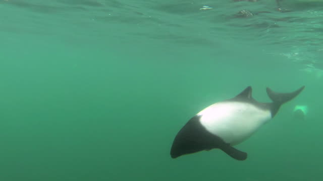commerson's dolphins swim in green sea, falkland islands - surface level stock videos & royalty-free footage