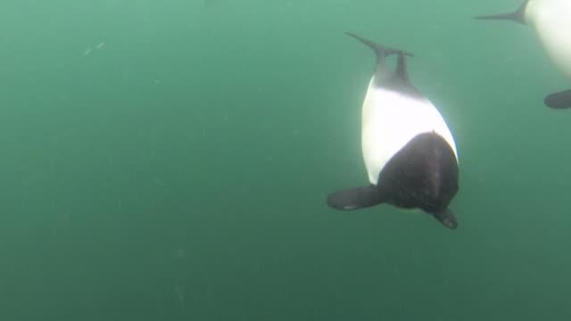 vídeos de stock e filmes b-roll de commerson's dolphins swim in green sea, falkland islands - cetáceo