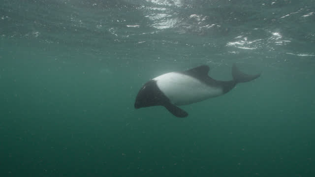 commerson's dolphins swim in ocean, falkland islands. - pod group of animals stock videos & royalty-free footage