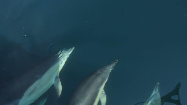 stockvideo's en b-roll-footage met commmon dolphins - common dolphin