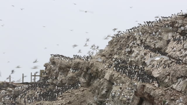 Common and Thick-billed Murres on Tyuleny Island, Sakhalin