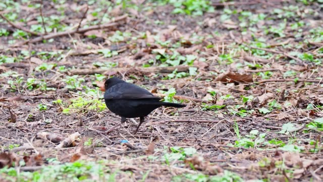 common blackbird looking for food in park - bird watching stock videos & royalty-free footage