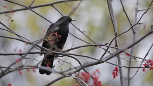 Common Blackbird (Turdus merula) on rowan tree, Finland
