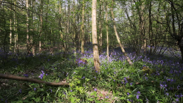 WS PAN Common Bluebells (Hyacinthoides non-scripta) in forest, Essex, England