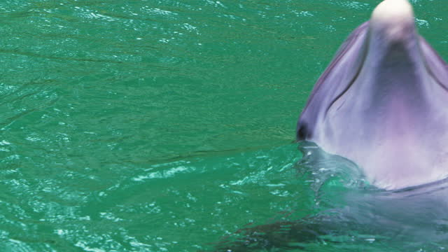 common bottlenose dolphin in water, slow motion - bottle nosed dolphin stock videos & royalty-free footage