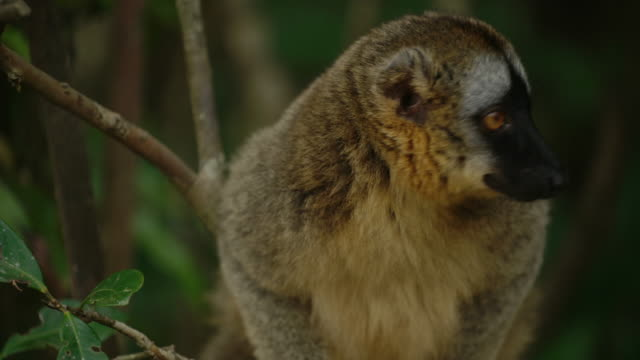 common brown lemur sitting on the tree branch / madagascar, africa - zoology stock videos & royalty-free footage