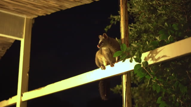 a common brushtail possum (trichosurus vulpecula) on a beam - roof beam stock videos & royalty-free footage