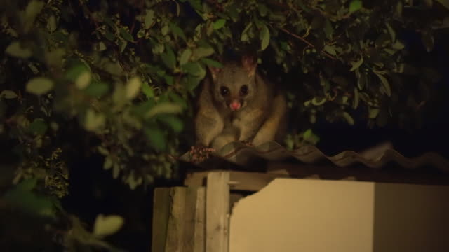 a common brushtail possum (trichosurus vulpecula) on a roof - one animal stock-videos und b-roll-filmmaterial