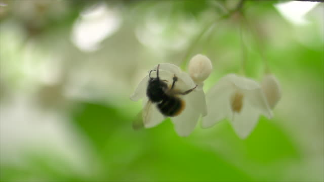 common carder bee (bombus pascuorum) eating honey of snowbell flowers and flying away - bumblebee stock videos & royalty-free footage