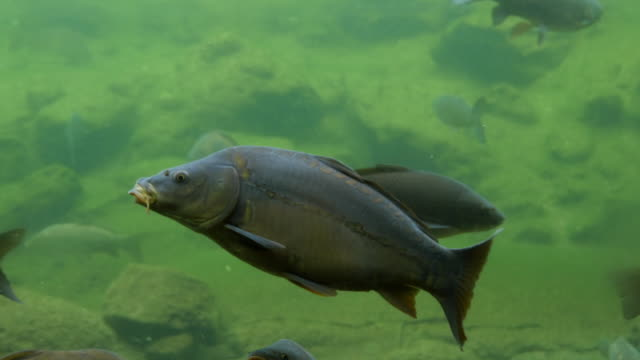 Common Carp, cyprinus carpio, Group Swimming, Dordogne in France, Real Time