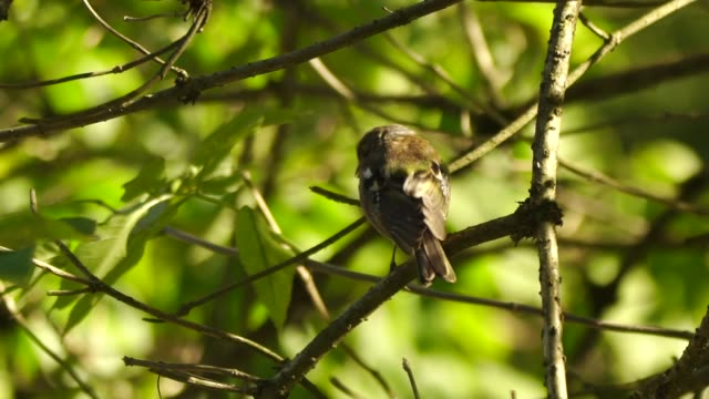 common chaffinch (fringilla coelebs) - songbird stock videos & royalty-free footage