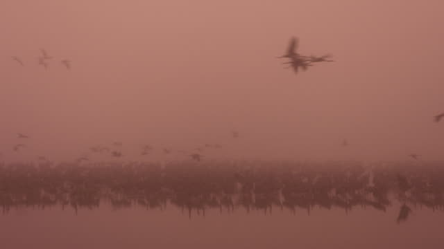 common crane (grus grus) 2 - クロヅル点の映像素材/bロール