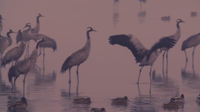common crane (grus grus) 3 - クロヅル点の映像素材/bロール