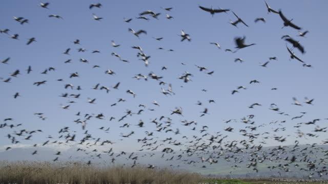 common crane (grus grus) 4 - クロヅル点の映像素材/bロール