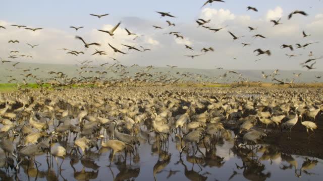 common crane (grus grus) 9 - eurasischer kranich stock-videos und b-roll-filmmaterial
