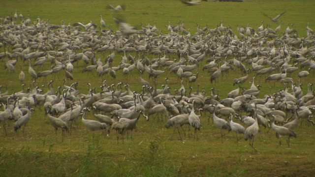 common crane (grus grus) colony, hula valley, israel; with audio - クロヅル点の映像素材/bロール