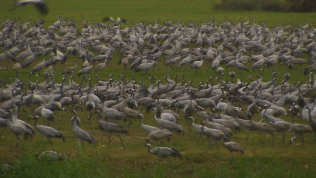 vidéos et rushes de common crane (grus grus) colony, hula valley, israel; with audio - cou humain