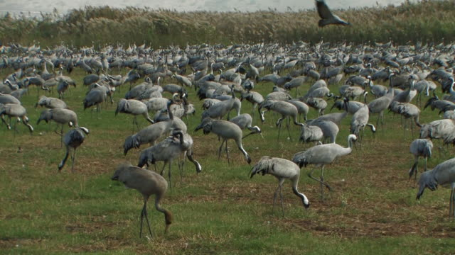 vidéos et rushes de common crane (grus grus) feeding, hula valley, israel; with audio - cou humain